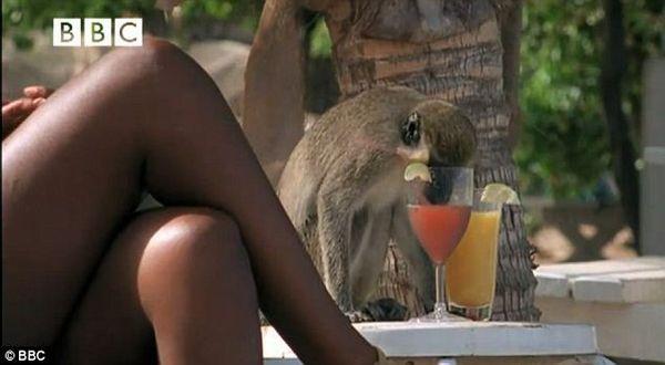 Kera Ini Gemar Minum Minuman Keras