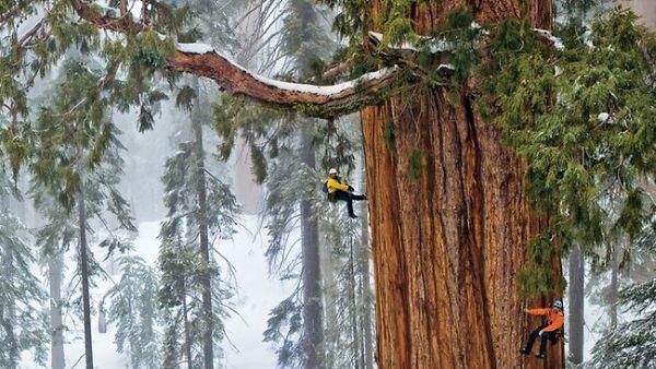 Presiden Pohon