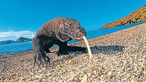 Komodo, hewan purba yang masih eksis di Indonesia (Foto: Telegraph)