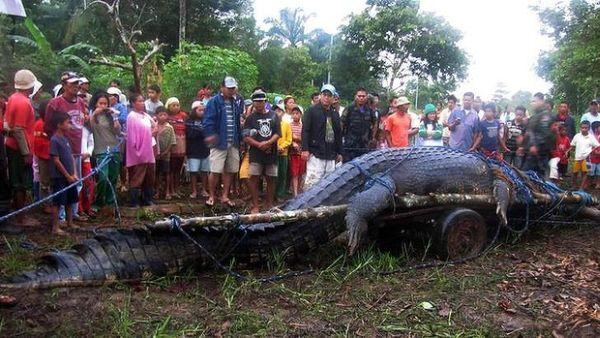 Buaya terbesar di dunia yang menarik wisatawan di Filipina tewas (Foto: reuters)
