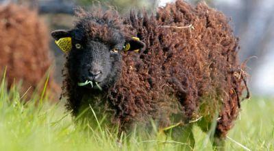 Domba Pemotong Rumput (Foto: NYTimes)