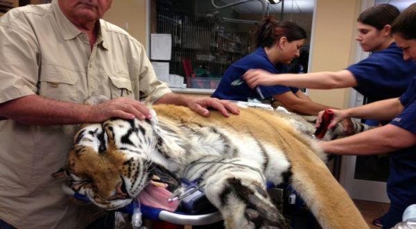 Harimau yang tengah dirawat (Foto: AP)