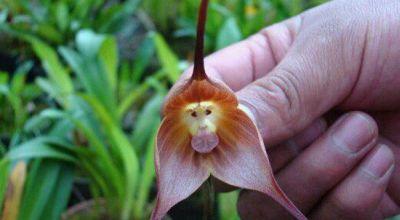 Bunga anggrek berwajah monyet (Foto: Oddity Central)