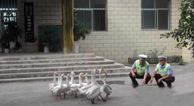 Polisi gunakan angsa (Foto: Orange)