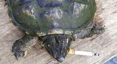 Kura-kura kecanduan rokok (Foto: Orange)