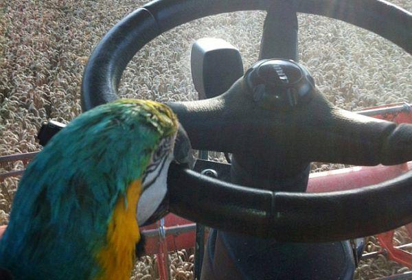 Burung nuri setir mobil. (Foto: SWNS)