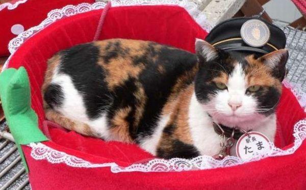 Kucing yang menjadi kepala stasiun. (Foto: Oddity Central)