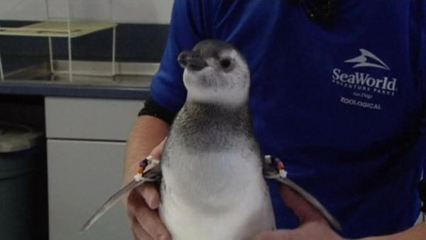 Bayi Tabung Penguin Berhasil Menetas!