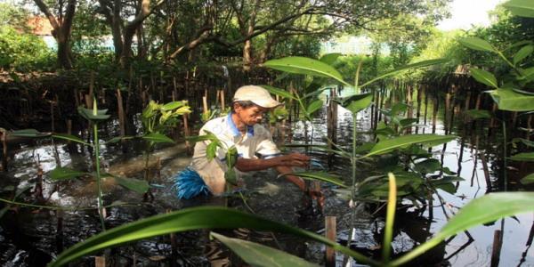 Petugas ekowisata menanam mangrove di Jakarta (foto: Heru H/ Okezone)