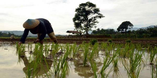 Seorang petani menanam padi di Desa Tajur Kecamatan Citeureup, Bogor (foto: Dede K/ Okezone)