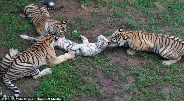Foto : Aksi harimau memangsa harimau (barcroft media)