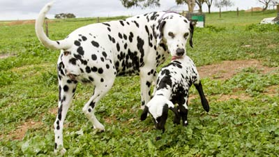 Foto : Anak kambing dalmation (orange)