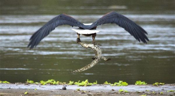 Unduh 1010+  Gambar Burung Elang Menerkam   Free
