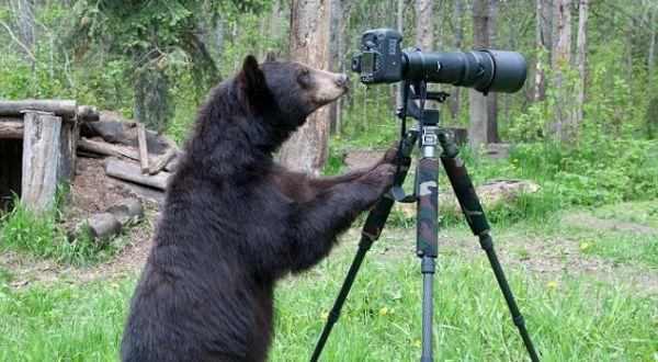 Beruang yang belajar foto (Foto: Daily Mail)