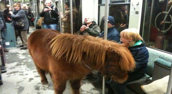 Kuda poni yang naik kereta (Foto: Daily Mail)