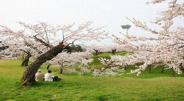 Di Jepang Foto Pemandangan Bunga Sakura Artis   Foto Artis - Candydoll