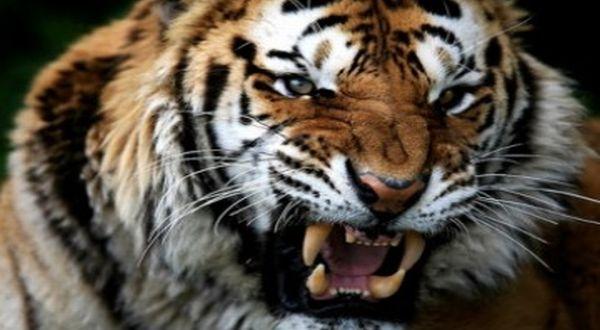 Harimau. (Ilustrasi : zonaaneh.blogspot.com)