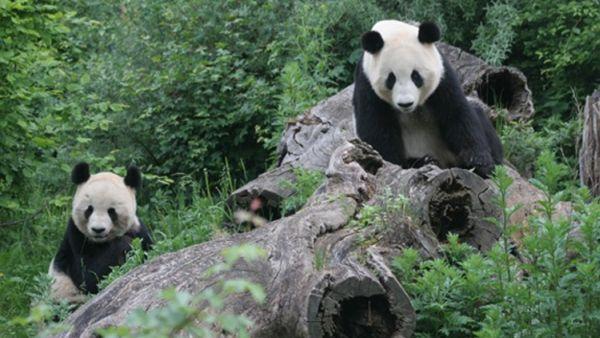 Pusat penyelamatan panda dujiangyan, china (foto: pandasinternational)