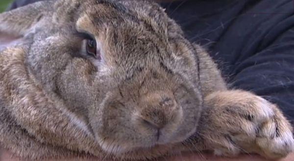 Ralph, si kelinci terberat (Foto: Uzoo)
