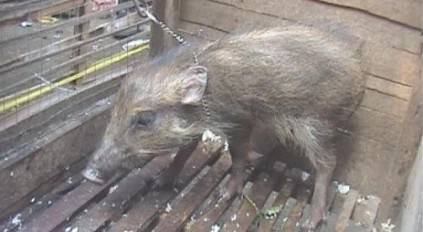 Babi yang diduga sebagai babi ngepet atau jadi-jadian (Foto: Mukhtar B/Sindo TV)