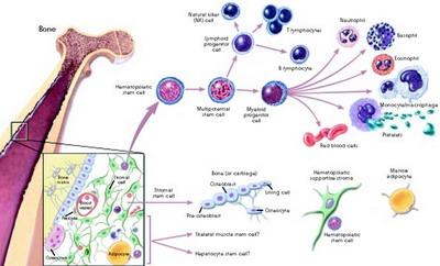 Nih, Alasan Gunakan Stem Cell dari Lemak