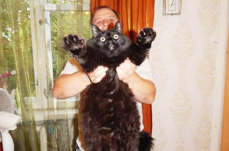 Maximus seekor kucing besar dari rusia. (foto: metro)