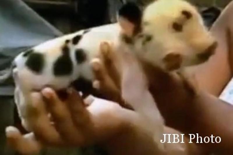 84 Gambar Babi Unik Paling Keren