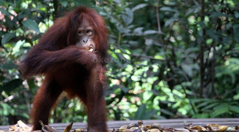 https: img.okeinfo.net content 2015 11 18 406 1251838 harga-mahal-orangutan-kerap-jadi-korban-h4E56E7Gpu.jpg
