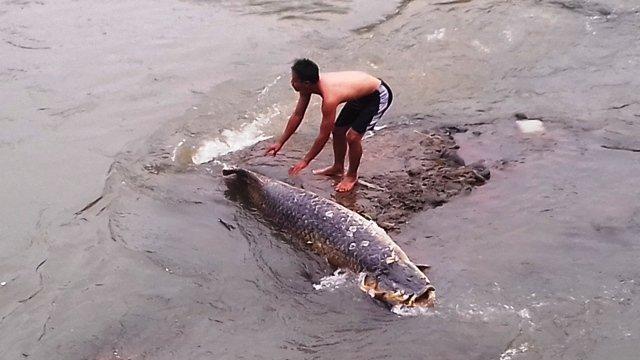 https: img.okeinfo.net content 2015 11 30 525 1258199 ikan-raksasa-di-kali-ciliwung-biasa-hidup-di-sungai-amazon-L79yHkY4H7.jpg
