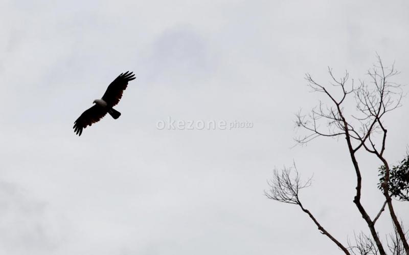 95  Gambar Burung Elang Jawa   Free