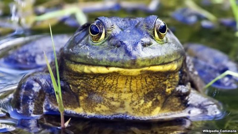 61 Koleksi Gambar Hewan Amfibi Dan Penjelasannya HD Terbaru