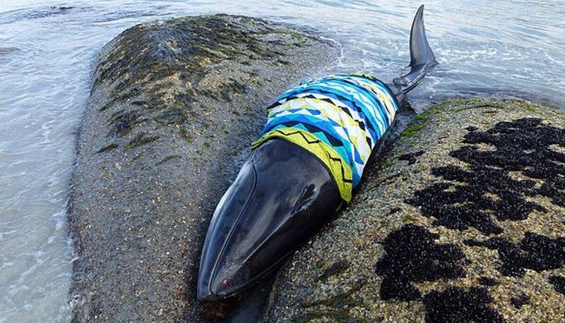 Unduh 70 Bagaimana Gambar Ikan Paus HD Terpopuler