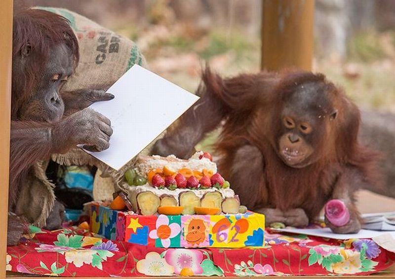 https: img.okeinfo.net content 2017 01 12 18 1590156 orangutan-yang-diklaim-tertua-di-dunia-berulang-tahun-ke-62-0rCtzVXm8Q.jpg