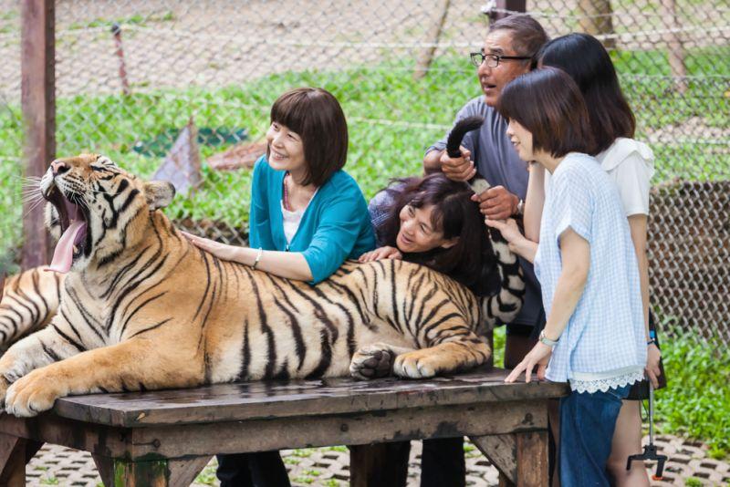 https: img.okeinfo.net content 2017 03 19 406 1646590 cara-mengatasi-serangan-harimau-saat-berwisata-ke-kebun-binatang-SC9Ils2TNR.jpg