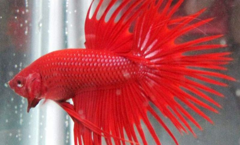870+ Gambar Ikan Cupang Biasa Gratis