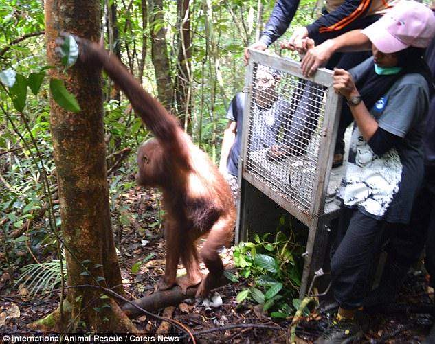 https: img.okeinfo.net content 2017 06 08 406 1711221 kisah-mengharukan-mimi-yang-direhabilitasi-hingga-dikembalikan-ke-hutan-4xpj3kI7nP.jpg