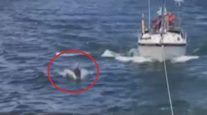 https: img.okeinfo.net content 2017 07 07 18 1730599 hebat-seekor-lumba-lumba-kawal-aksi-evakuasi-sebuah-kapal-yang-macet-di-tengah-laut-Wq31yDlmn3.jpg
