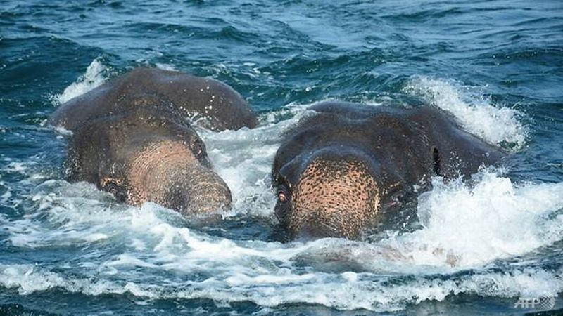 https: img.okeinfo.net content 2017 07 24 18 1742569 al-sri-lanka-kembali-selamatkan-gajah-yang-hanyut-di-laut-n1mNtx57ae.jpg