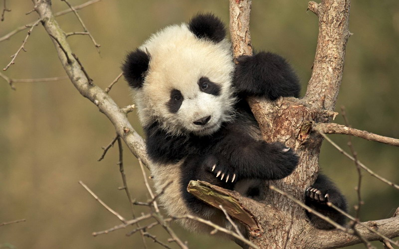 https: img.okeinfo.net content 2017 09 04 406 1768852 gemas-terjebak-di-pepohonan-bayi-panda-raksasa-ini-malah-tidur-siang-O0SQHj2MzO.jpg