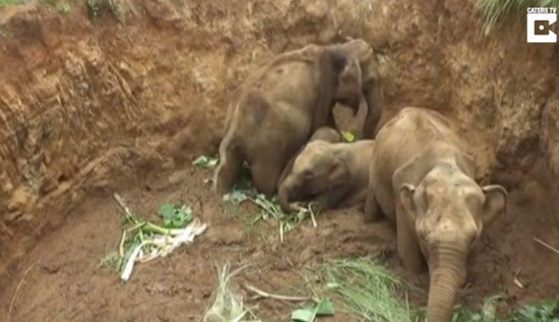 https: img.okeinfo.net content 2017 09 23 18 1781472 video-kasihan-4-ekor-anak-gajah-terjebak-di-sebuah-lubang-di-sri-lanka-3JtKJd4f5G.jpg
