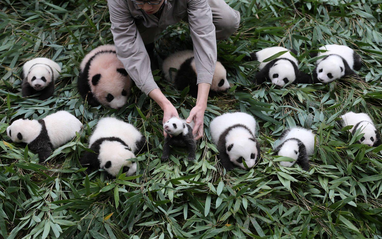 Unduh 76 Gambar Panda Lucu Banyak Terbaru Gratis