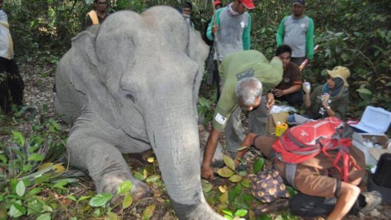 https: img.okeinfo.net content 2017 11 23 406 1819567 konflik-manusia-dan-gajah-masif-terjadi-di-riau-begini-tim-dokter-selamatkan-gajah-yang-terluka-RPgZj44FGr.jpg