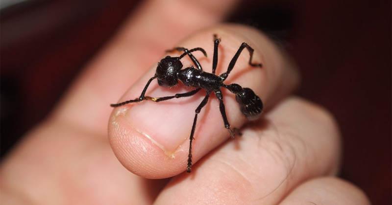 https: img.okeinfo.net content 2017 11 24 56 1819705 selain-terbesar-semut-peluru-juga-punya-gigitan-paling-menyakitkan-62XyH3hHVS.jpg