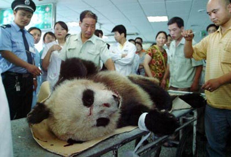 https: img.okeinfo.net content 2017 12 03 18 1824479 merintih-minta-tolong-panda-liar-yang-tak-bisa-bergerak-ini-akhirnya-diselamatkan-yP8ea0FUiZ.jpg