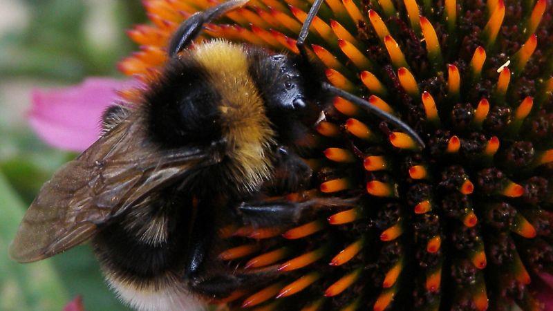 https: img.okeinfo.net content 2017 12 12 56 1829404 ternyata-lebah-bumblebee-mampu-pecahkan-matematika-klasik-saat-mencari-makan-Sb5onYQpyF.jpg