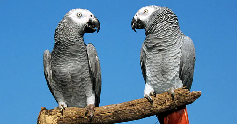 https: img.okeinfo.net content 2017 12 15 56 1831090 mengapa-burung-beo-bisa-berbicara-t3egWijgpw.jpg