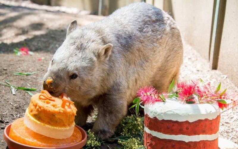 https: img.okeinfo.net content 2017 12 19 298 1832866 gemas-wombat-tertua-di-australia-ini-rayakan-hut-dengan-cake-spesial-mdLhwuhkPv.jpg