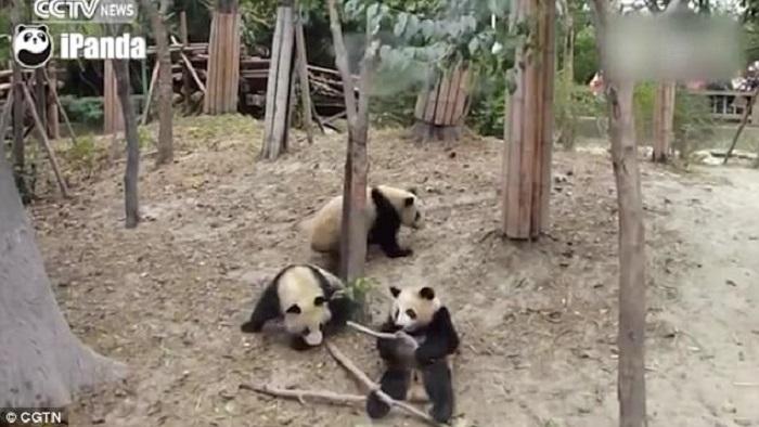 https: img.okeinfo.net content 2017 12 26 406 1836044 lagi-asyik-berduaan-2-panda-terkejut-temannya-jatuh-dari-pohon-T50S3T9IBO.jpg