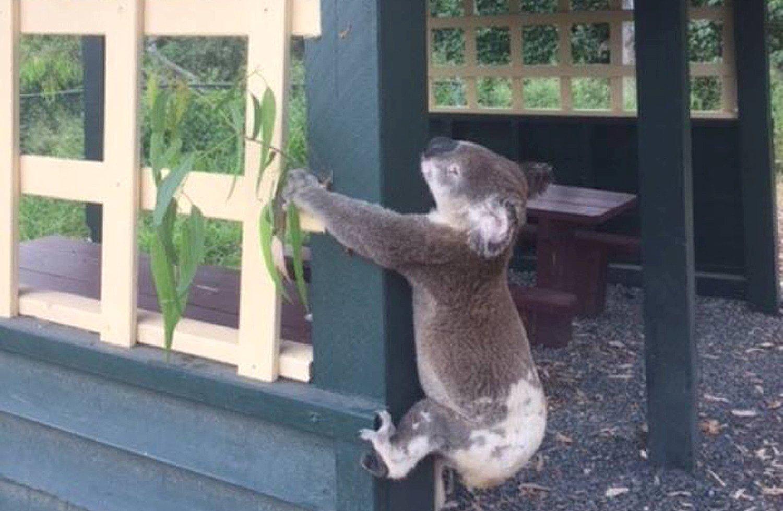 https: img.okeinfo.net content 2018 01 11 18 1843568 kepolisian-australia-selidiki-kematian-koala-yang-dipaku-ke-tiang-8uaPrfLB1Q.JPG