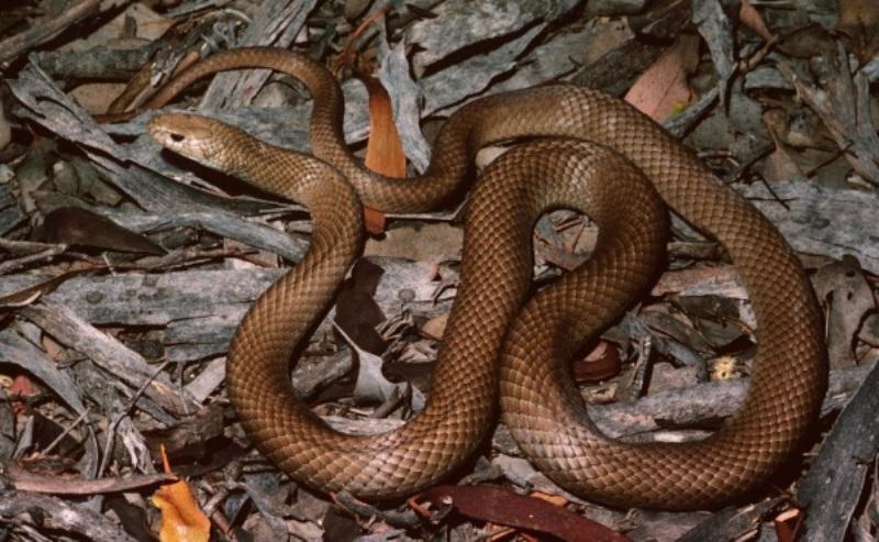 https: img.okeinfo.net content 2018 01 12 18 1844350 lindungi-anjingnya-pria-di-australia-tewas-dipatuk-ular-berbisa-P0yBb9lG9D.jpg